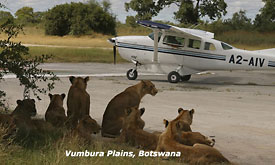 Botswana Safari Vacations, Lions on teh air strip, Vumbura Plains