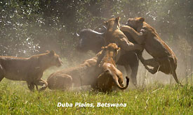 Botswana Safari Vacations, Lions taking a Buffalo at Duba Plains, Botswana