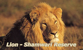 Shamwari Bushmans River Lodge, Lion at Shamwari Game Reserve