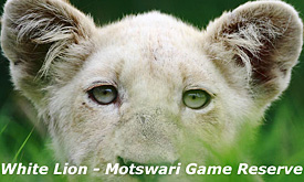 Timbavati Safari Offers and Travel Deals, White Lion , Motswari Game Reserve