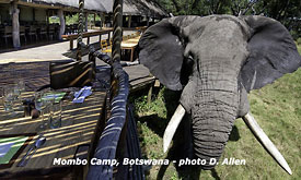 Botswana Safari Vacations,Botswana Safari Packages,Botswana Safaris Tours, Elephant at Mombo Camp in Botswana