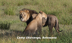 Lions at Camp Okavango, Okavango Delta, Botswana Safari Vacations,Botswana Safari Packages,Botswana Safaris Tours