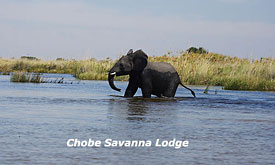 Elephant Crossing the Chobe River at Savanna Safari Lodge, Botswana Safari Vacations,Botswana Safari Packages,Botswana Safaris Tours
