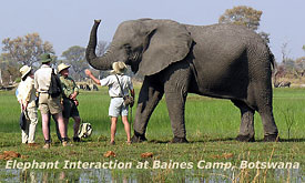 Elephant Interaction at Baines Camp, Botswana Safari Vacations,Botswana Safari Packages,Botswana Safaris Tours
