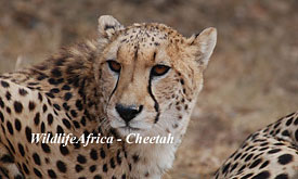 Cheetah at Exeter River Lodge in Sabi Sands