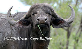 Madikwe Safari Lodge,Madikwe Game Reserve - Buffalo