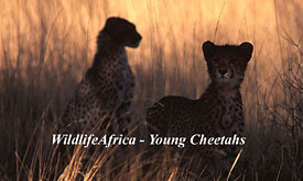 Madikwe Safari Lodge,Madikwe Game Reserve, Cheetahs
