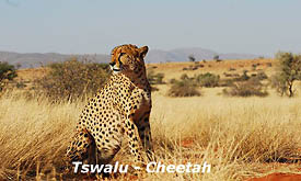 Cheetah at Tswalu Kalahari Reserve, Safari Offers and Packages