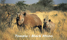 Black rhino at Tswalu Kalahari Reserve, Safari Offers and Packages