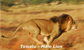 Kalahari Black Maned Lion at Tswalu Kalahari Reserve, Kalahari Desert, South Africa