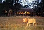 Chitabe Safari Camp Botswana. Lion in front of Camp