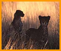 South Africa Safaris, Cheetah Kruger National park