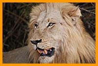 African Safaris, South Africa Safari Trips, Lion in Kruger National park