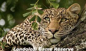 londolozi-game-reserve7