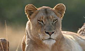 andbeyond-botswana-safari1